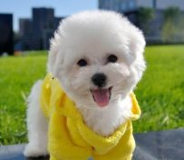 大眼睛甜美卷毛比熊幼犬 包纯