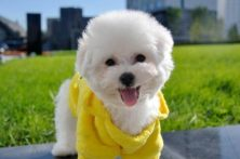 可爱纯种棉花糖雪白比熊幼犬 毛量大品相佳 多窝出售