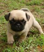 出售健康纯正的巴哥幼犬憨厚可掬体态惹人怜爱
