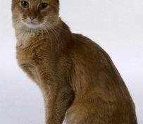 索马里猫-济南萌猫