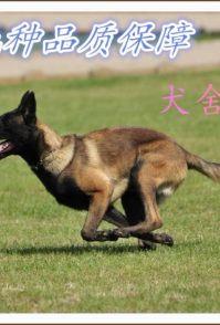 重庆哪里出售优质健康小马犬,怎么驯养马犬小犬,如何与马犬相处