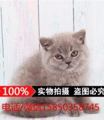 蓝猫纯种 英国短毛猫活体宠物猫蓝色俄罗斯蓝猫活体幼