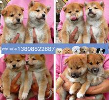 广州柴犬狗场 广州出售纯种日本柴犬 哪里有卖柴犬