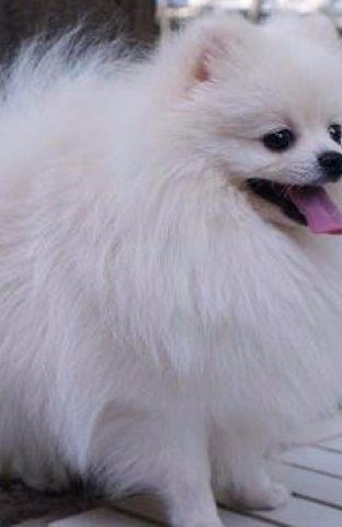 纯种博美 自家养殖 品相一流 包健康 可签协议 上门选狗