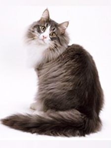 宠物猫 (26)