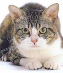 荆州蓝猫 金吉拉 虎斑 布偶 英短 美短 暹罗猫 包纯种健康