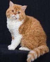 柯尼斯卷毛猫