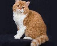 猫什么时候发情 母猫为什么会不发情