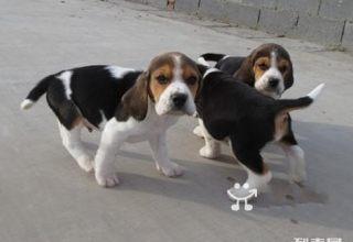 比格犬-天津名犬