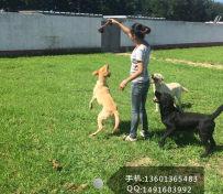 北京宠物寄养 大型犬托管