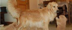苏州狗场解散 金毛等二十多种宠物狗 500元 起售