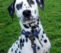斑点狗犬舍出售高端斑点狗幼犬