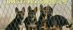 贵港市马犬,德国牧羊犬,金毛犬,拉布拉多犬等宠物犬供应