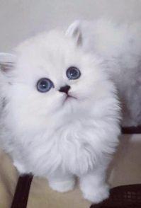 北京苏格兰折耳猫 蓝白折耳 蓝猫折耳 渐层折耳(包
