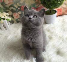 武汉馨馨猫舍家庭繁殖俄罗斯蓝猫 包纯种健康 可签协议