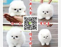 养殖场出售小型犬 博美 泰迪 比熊 吉娃娃 巴哥犬