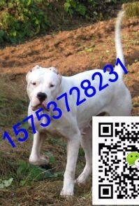 凌宇犬业出售杜高犬,比特犬,价格优惠,欢迎选购