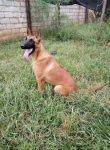 常年出售各种猛犬猎犬如马犬杜高卡斯罗格力犬罗威纳中
