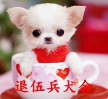 三个月茶杯幼犬出售