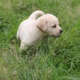 天呐,拉布拉多猎犬和拉布拉多寻回犬不是一种狗!