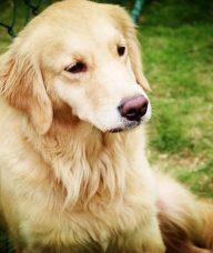 金毛寻回犬习性 金毛喜欢陪伴在人的周围