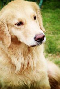达州宠物犬拉布拉多,金毛,马犬,黑狼犬,德国黑背犬供应