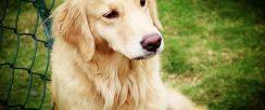 金毛寻回犬喂养 最正确的金毛寻回犬饲养方法