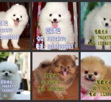 哪里有卖博美宠物狗 广东狗狗养殖场基地
