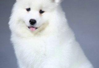 精品微笑天使 纯种包健康 犬舍直销 喜欢可上门自选
