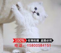 出售金吉拉幼猫长毛猫纯种家养