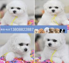 广州比熊狗场 广州出售比熊犬宠物狗 哪里有卖比熊犬