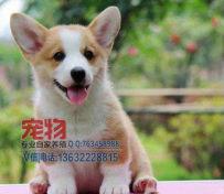 深圳哪里有卖柯基犬,深圳买柯