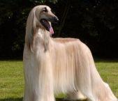 天津哪里有卖阿富汗猎犬