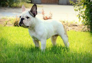 法国斗牛犬用途 法斗是一种贴心的伴侣犬