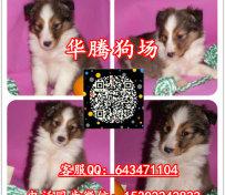 广州哪里有卖喜乐蒂幼犬价格多
