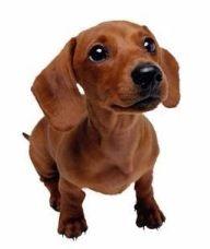 短毛腊肠犬
