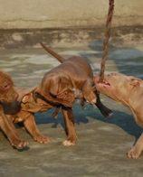 犬舍直销大体大头版比特犬正规犬舍比特犬3个月