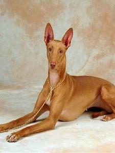 法老王腊犬