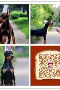 时尚萌宠十多年的养殖经验 养殖纯种杜宾幼犬