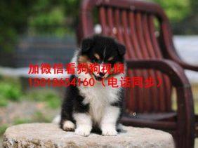 广州正规狗场出售喜乐蒂幼犬