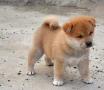柴犬好不好养 广州纯种柴犬什