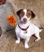 杰克罗素梗犬幼犬怎么识别 杰克罗素梗外表特点