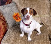 杰克罗素梗的身长 理想的公犬肩高应为14英寸