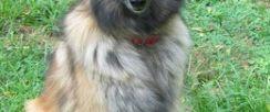纯种伯恩山犬标准 雄性标准肩高24到28英寸