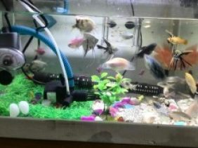 本中心承接观赏鱼寄养,本店提供饲料,上门取鱼,按时