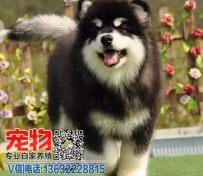 广州哪里有卖阿拉斯加小狗 增