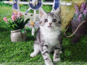 英短蓝白 渐层 蓝猫 美短加白 起司高白猫(包纯种
