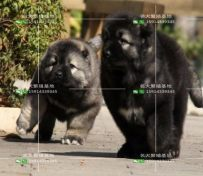 广东高加索幼犬出售纯种健康有