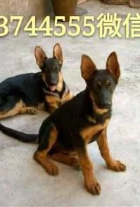德国牧羊犬,马犬,卡斯罗犬,杜高犬,金毛拉布拉多犬价格低