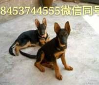 德国牧羊犬,马犬,卡斯罗犬,